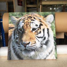 #tiger #wildlife #wildlife_photography
