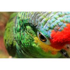 #animal #animallovers #loro #mexico #photooftheday #aves #closeup #canon #parrot #green #colorful #color #life #beautiful #wildlifephotography #photography #photoshoot #animales by gloomedd http://www.australiaunwrapped.com/