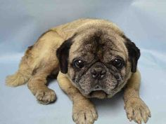 SUPER URGENT Brooklyn Center GIZMO – A1048326 MALE, TAN, PUG MIX, 15 yrs OWNER SUR – EVALUATE, NO HOLD Reason PERS PROB Intake condition EXAM REQ Intake Date 08/18/2015