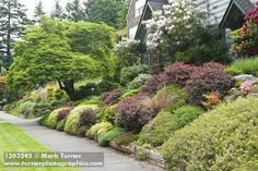 Front yard garden anchored by a dogwood tree, rhododendrons, Japanese Forest Grass and Japanese Barberry. Photo by Mark Turner.