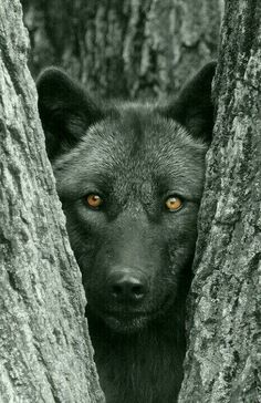 black-wolf.jpg