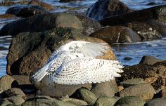 Snowy Owl photographed at Rye Harbor State Park New Hampshire  December 2015