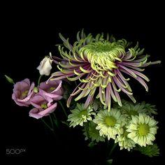 SWEET HARMONY... a tonal fest. Chrysanthemum. by Magda Indigo on 500px