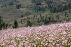 Tháng 10 hẹn hò trong mùa hoa Tam mạch nhé
