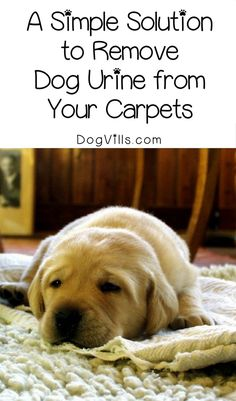 how to get rid of dried urine stains on carpet