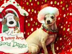 Chihuahua dog for Adoption in Placerville, CA. ADN-409946 on PuppyFinder.com Gender: Female. Age: Adult