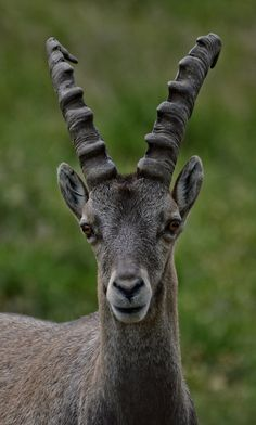 Alpine Ibex(Capra ibex) photographed by Alexandre Roux in the French Alps on 26th July 2015