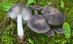 Setas Extremadura : Tricholoma Terreum