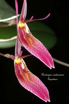 Restrepia condorensis