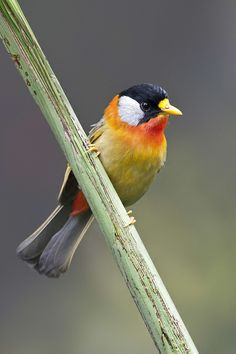 Silver-eared Mesia - Leiothrix argentauris - a species of bird from South East Asia.  species being placed with the LAUGHING THRUSHES  in the new family Leiothrichidae.[
