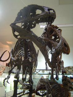 The one on the right appears to be a T. rex, however I'm inclined to believe the left one is a Daspletosaurus due to a slimmer skull and relatively longer arms. Whatever they are, they definitely belong in the Tyrannosauridae family!