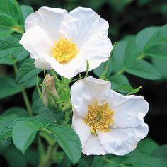 R. Rugosa Alba - constant flowering