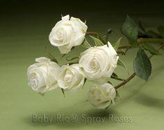 Baby Rio® VIVIAN Spray Rose
