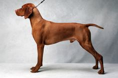 Mason the Vizsla (Sporting). Mason, registered as Regal Point Pinnacle Of Kilauea JH, is owned by Deborah Verret, Susan Rushing, Debbie Sullivan and Sandra Middlebrooks. (Fred R. Conrad, a New York Times photographer, set up a studio at the 2013 Westminster Kennel Club dog show and invited Best of Breed winners to pose.)
