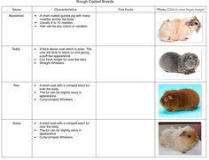 Cavy breeds different coats/fur Guinea Pigs Pinterest