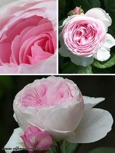 Elfenrosengarten: Englische Rose