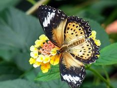 butterfly, exot, tropical, insect, animal