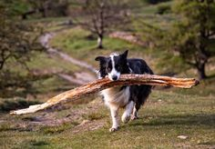 11 Bright Facts About Border Collies | Mental Floss