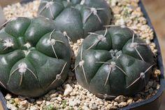 Gymnocalycium dubniorum