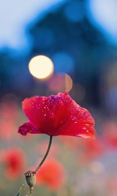 Poppy Flower And Blue Bokeh