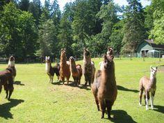 Millstream Miniature Llamas
