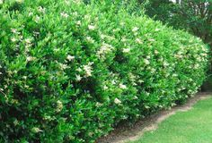 Wax leaf ligustrum.  Common, evergreen shrub with oval, dark-green, glossy leaves often used as a hedge or screen with heavily fragrant flowers and bothersome pollen to some.  Used as a tree or shrub form. Great backdrop plant for a perennial garden, rose garden or to hide pool equipment or a/c's.