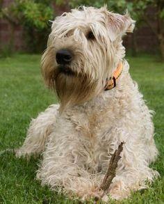 "Irish Soft Coated Wheaten Terrier - Parkalissene Caoilainn ""Cate""   via Snautz.de"