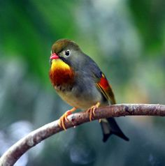Pekin Robin (Leiothrix lutea). This bird also goes by the names of, Red-billed Leiothrix, Pekin Nightingale, Chinese Nightingale, Japanese Nightingale, and Japanese (Hill) Robin - although it is not native to Japan.  by Kevin Hughes
