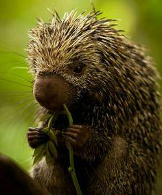 Awww Brazilian hedgehog :-D so cute