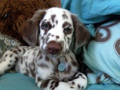 Cute Baby Dogs, Cute Dogs And Puppies, Doggies, Corgi Puppies, Big Dogs, English Setter Puppies, Pretty Animals, Cute Little Animals, Cute Dogs Breeds