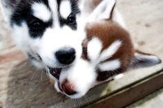 Red & black Siberian husky pups <3 exactly what I want