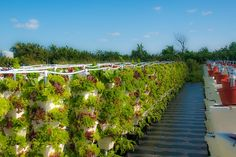 Lightbourn Farm at Schooner Bay, Abaco, Bahamas with hybrid hydroponic rows of vegetables stretching off into the distance