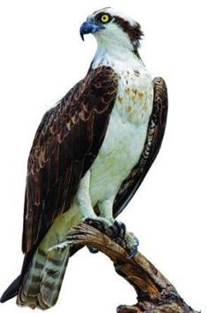 Osprey perched on a branch.
