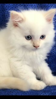 Ready To Go Now Ragdoll Male Kitten Cats Kittens Gumtree Australia Brisbane North West Brisbane City 1212056819 Cats And Kittens Kitten Kittens
