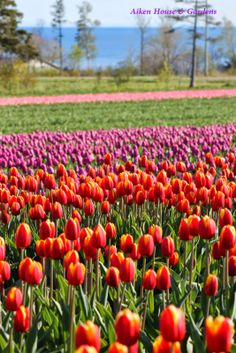 Aiken House & Gardens: Tulips Everywhere