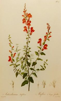 Snapdragon Flower Illustration, Red Flower Print (Home Decor Wall Hanging) 19th Century Artist, No. 115