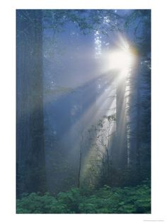 Sunlight-Coming-Through-Redwoods-CA