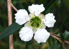 Leptospermum petersonii - Mai 2012