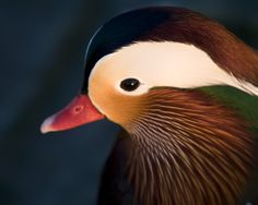 mandarin duck | Desktop Wallpaper of a Colourful Mandarin Duck