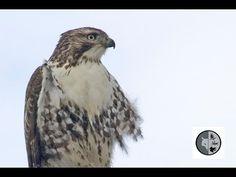 DANS LA NATURE Ep.37 : À la recherche des oiseaux de proie Nature Sauvage, Wild Nature, Birds Of Prey, Wilderness, Canada, Search, Animals, Searching, Animales