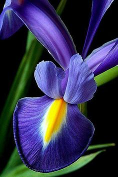 iris - my favorite flower