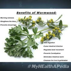 Wormwood also know as Absinthe is mentioned a few times in the Bible because of its bitterness our Prophets use it as a symbol of suffering.  Bitter though it is wormwood posses amazing curative properties.  It prevents buildup of unnecessary juices in the body while encouraging production of beneficial digestive fluids.  Pregnant women should add a few wormwood leaves to their tea to control morning sickness and vomiting. Tea with wormwood also strengthens the fetus and prevents…