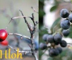 Hloh a trnky – zabudnuté ovocie | Poctivé Potraviny