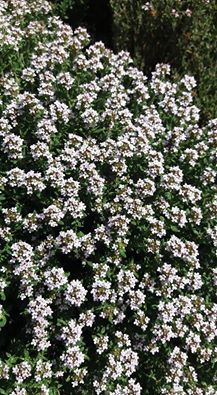 Eco Green, Korn, Perennials, Remedies, Herbs, Gardening, Health, Nature, Plants