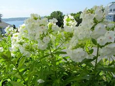 Phlox paniculata 'David' Garden Phlox. This is a popular cultivar which won Perennial Plant of the Year for 2002. It blooms with very large domed clusters of flat-faced white flowers on errect stems. It has very good mildew resistance and is an ideal plant for many garden areas.