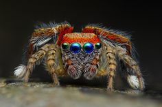 jumping spider--how cool does this thing look?
