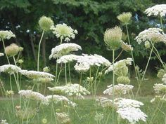 Queen Anne's Lace - used to pick so many of these as a kid!