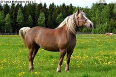 Estonian Draught - mare Neiu