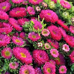 Clay tolerant: Matsumoto Asters from Sun Valley