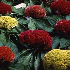 Celosia Cristata Mix - Cocks Comb